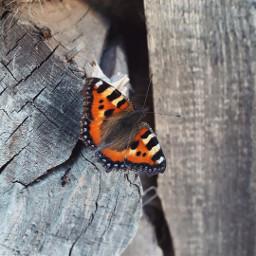 freetoedit aglaisurticae butterfly summer nature