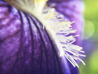 freetoedit iphoneography macro macrophotography purple