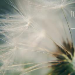 closeup macro dandelion inspirational quotes