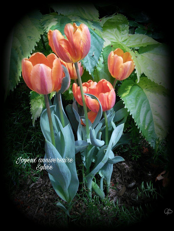 Joyeux Anniversaire Sylvie Happybirthday Tulips Flower