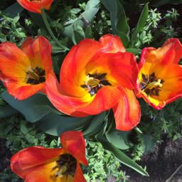 tulips orangeflower radialeffect donefortoday myfoot