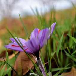 crocus iranian_saffron flower nature nikond5300