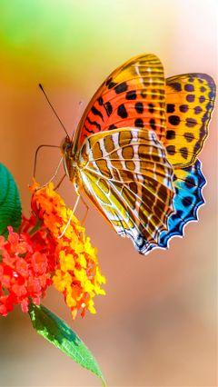 freetoedit colorful beautiful butterfly photography