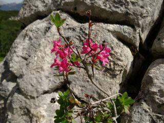 flower rock pinkblossom