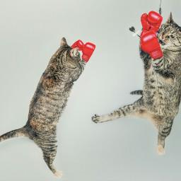 freetoedit myrmx cats boxinggloves boxing
