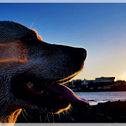 photography teo dogs labrador labradorretriever freetoedit