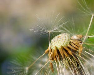 flower flowerphotography dandelion notaweed flowers freetoedit