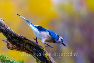 bird photography petsandanimals nature bluejay