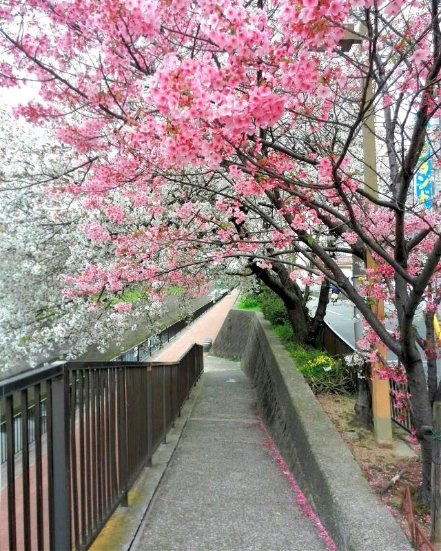 #FreeToEdit  #cherryblossom #sakura #japan #osaka