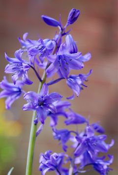 flower flowers bluebells macro macrolens freetoedit