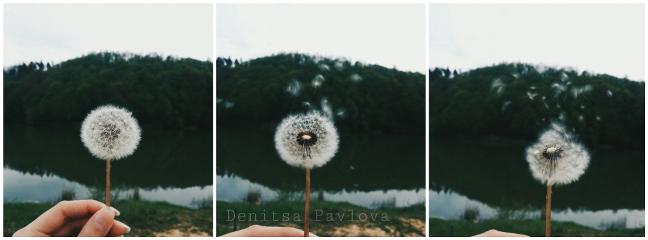 dandelion denitsapavlova photography spring