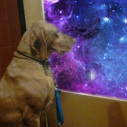 freetoedit galaxywindow dogsofpicsart vizsla vizslalove
