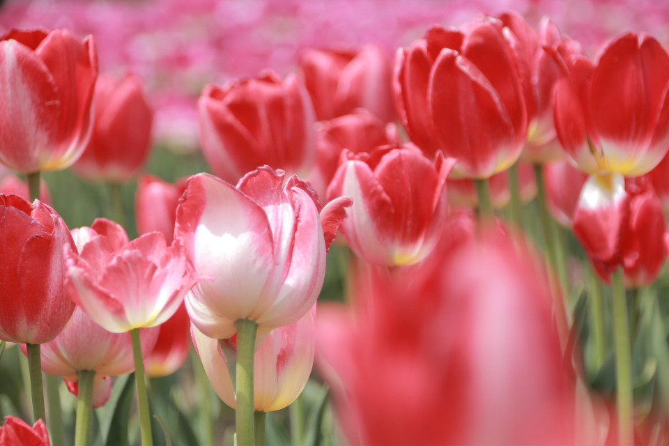 #FreeToEdit #japan #nature #flower #tulips #photography #canon