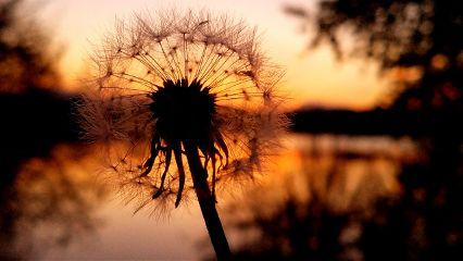 dandelion sunset colorful unedited beautiful