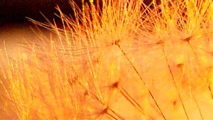 dandelion sunset sparkle unedited beautiful