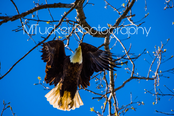 baldeagle photography nature petsandanimals wildlife