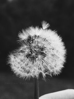 dandelion photography denitsapavlova freetoedit blackandwhite