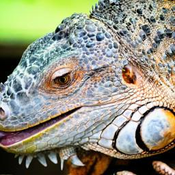 iguana petsandanimals wildlife nature pameeting7