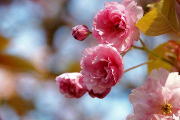 photography myphoto spring blossom pink