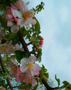 freetoedit myphoto nature flowers apple-tree