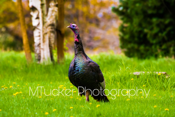 photography petsandanimals nature wildturkey digitalpaint