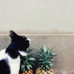 freetoedit cat pineapple summer tropical