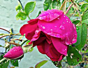 rose roses rosebud raindrops red