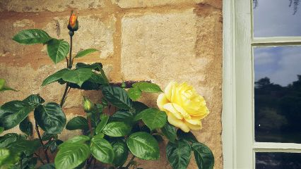 rose rosebud window photography
