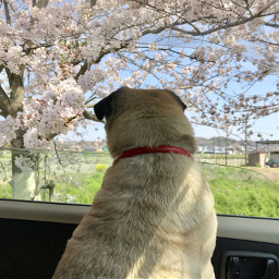 cherryblossom pug sakura spring