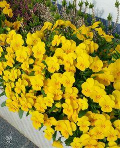 nature yellowflower yellow stiefmütterchen flowers